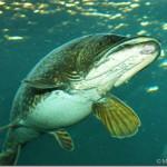 ferskvandsfisk-120-copy